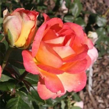 Троянда Fairest Cape купить онлайн