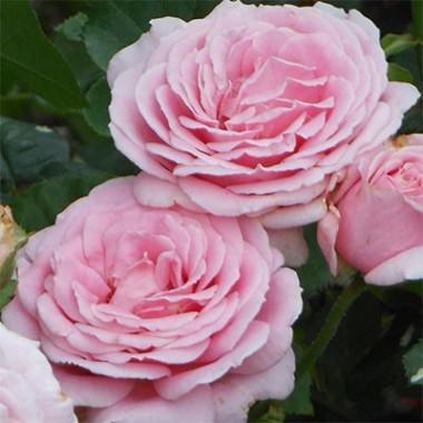 Троянда Frederic Mistral фото цена