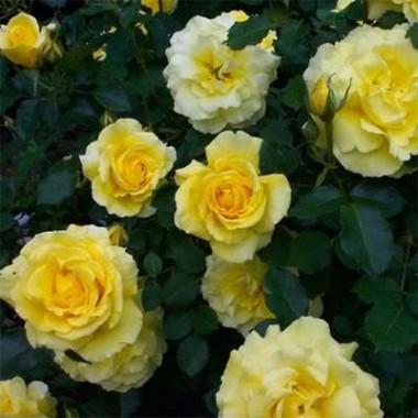 Троянда Friesia фото цена