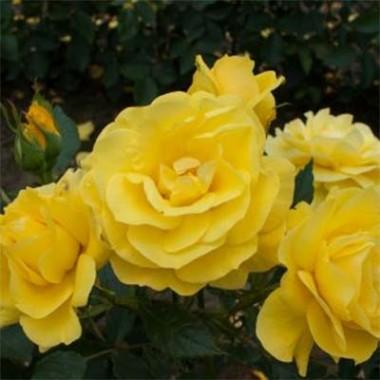 Троянда Friesia описание