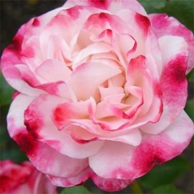 Троянда Rosenstadt Freising фото цена