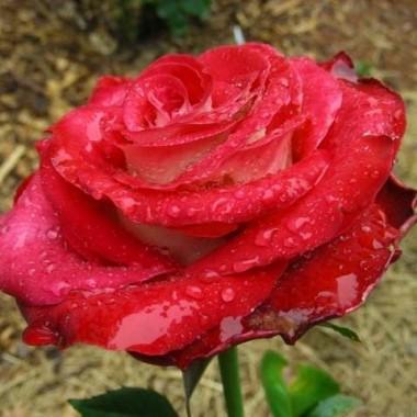 Троянда Friendship в киеве