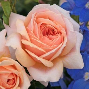 Троянда Garden of Roses описание