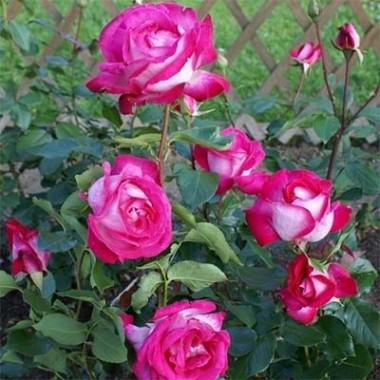 Троянда Rose Gaujard смотреть