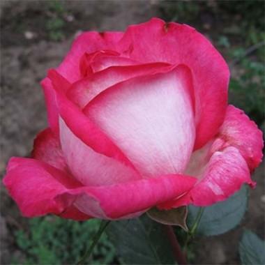 Троянда Rose Gaujard описание