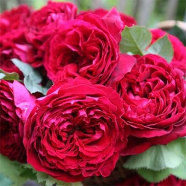 Троянда Gospel смотреть