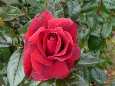Троянда Clb. Grand Chateau описание