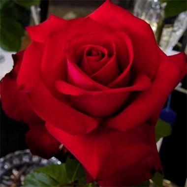 Троянда Grande Amore смотреть