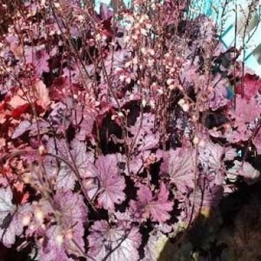 Гейхера Carnival Rose Granita описание