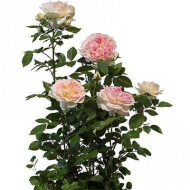 Троянда Guernsey в киеве