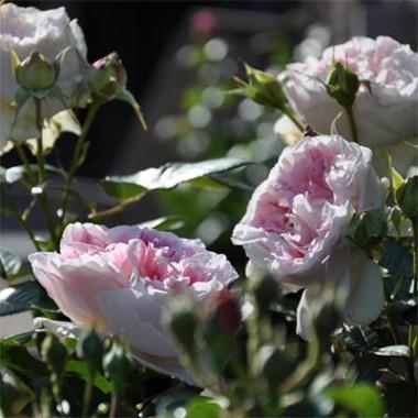 Троянда Guernsey смотреть