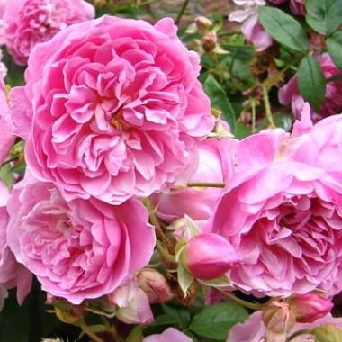 Троянда Harlow Carr описание