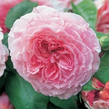 Троянда James Galway (плетиста) купить онлайн