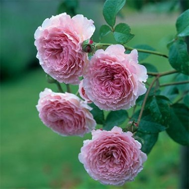 Троянда James Galway (плетиста) фото цена
