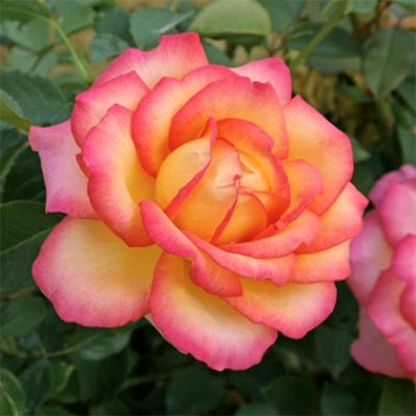 Троянда Jean Piat в киеве