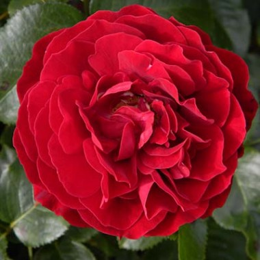 Троянда King Arthur фото