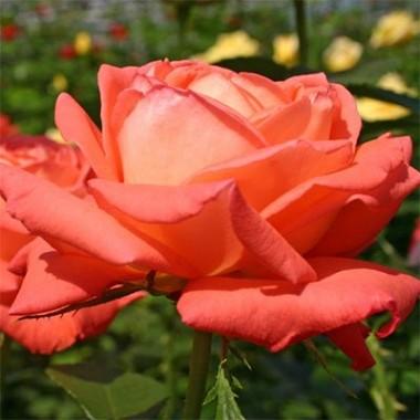 Троянда Köningin der Rosen описание