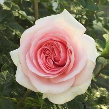 Троянда La Fontaine Aux Perles почтой