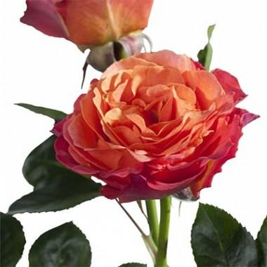 Троянда La Palma описание