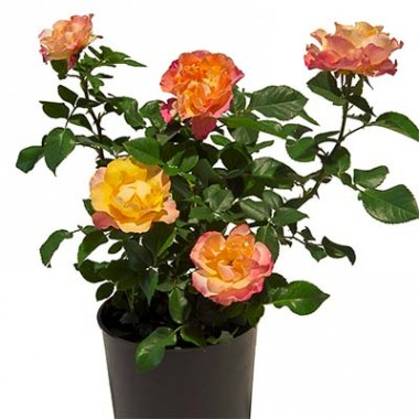 Троянда La Palma купить онлайн
