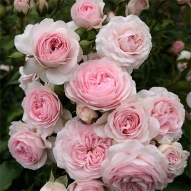 Троянда Larissa фото цена
