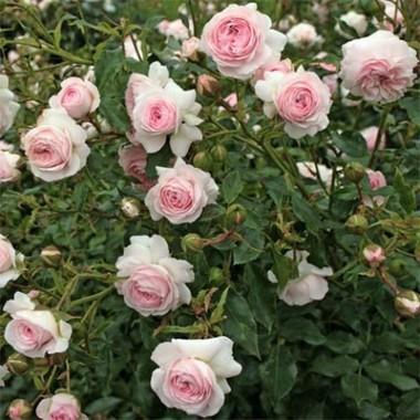 Троянда Larissa описание