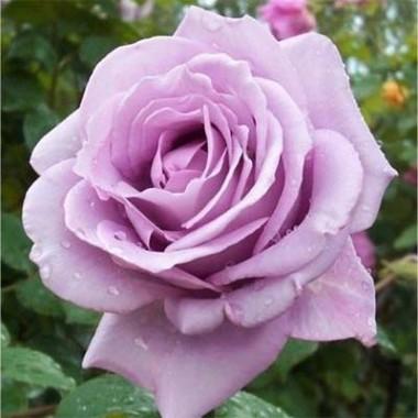 Троянда Mainzer Fastnacht фото цена