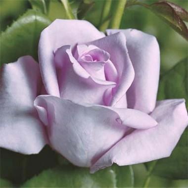 Троянда Mainzer Fastnacht интернет-магазин