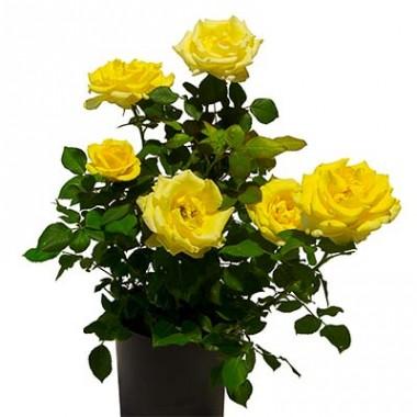 Троянда Malta купить онлайн