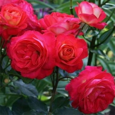 Троянда Midsummer описание