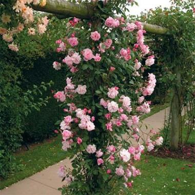 Троянда Mortimer Sackler (плетиста) купить онлайн
