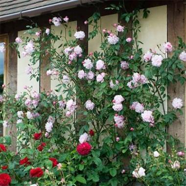 Троянда Mortimer Sackler (плетиста) описание