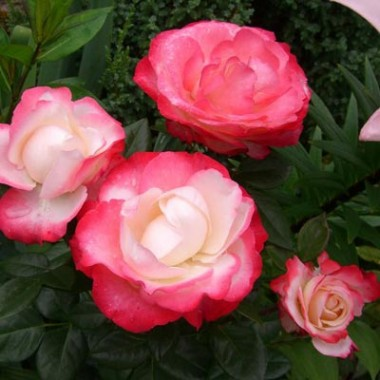 Троянда Nostalgie интернет-магазин