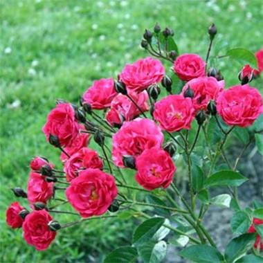 Троянда Orange Triumph смотреть