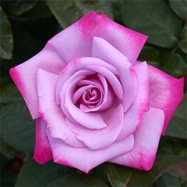 Троянда Paradise описание