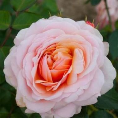 Троянда Parfum D'Orleans смотреть