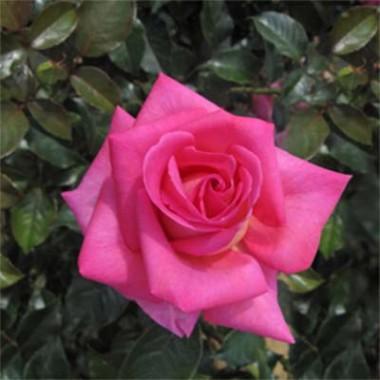 Троянда Parfum Royal Climbing фото цена