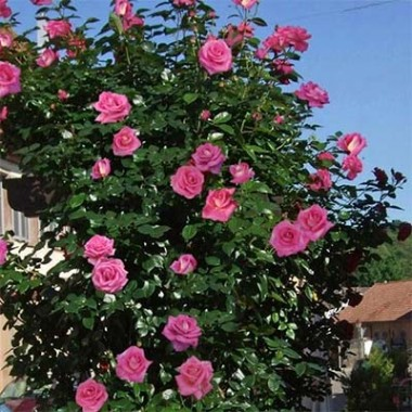 Троянда Parfum Royal Climbing почтой