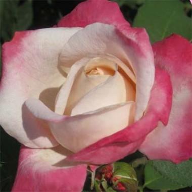 Троянда Parfum Tropical фото