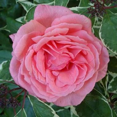 Троянда Pariser Charme в киеве