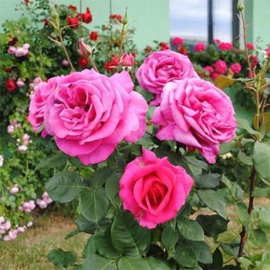 Троянда Parole фото цена