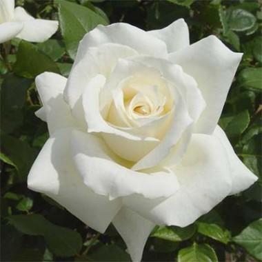 Троянди Декоплант