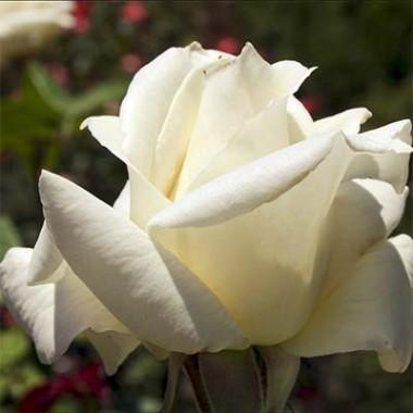 Троянда Pascali интернет-магазин