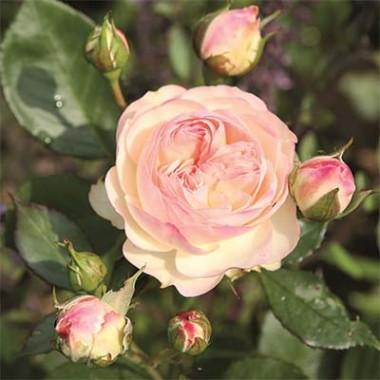 Троянди Тантау купить