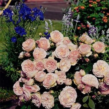 Троянда Pastella купить онлайн