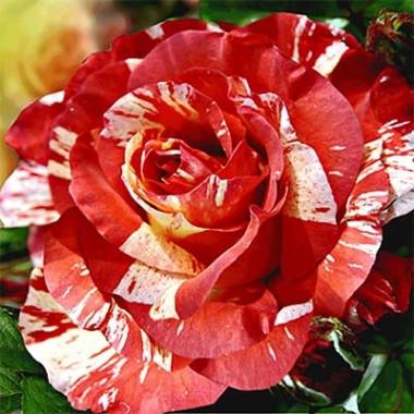 Троянда Paul Gauguin фото