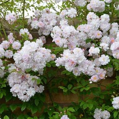 Троянда Paul's Hymalayan Musk фото цена