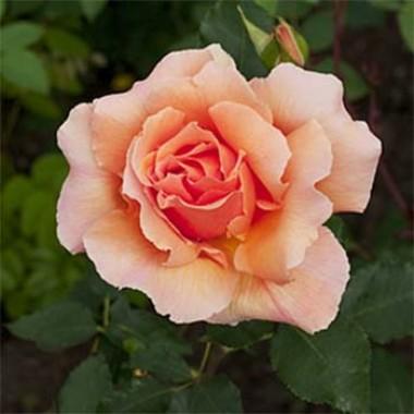 Троянда Peacekeeper в киеве