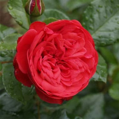Троянда Piano описание