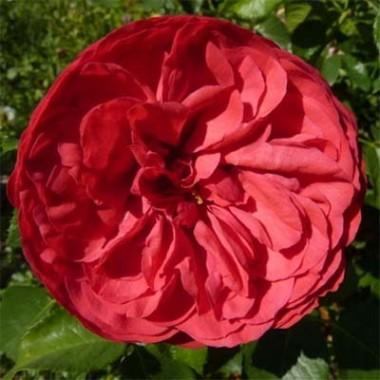 Троянда Piano в киеве